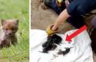 Los bomberos salvan 8 cachorros abandonados en una alcantarilla, pero luego se dan cuenta que se trata de zorros rojos