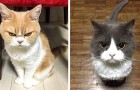 13 roliga katter som man knappast vill bråka med på grund av deras hotfulla ansisktsuttryck