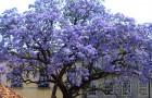 De Keizerinboom groeit in recordtijd en kan tot 4 keer meer zuurstof produceren dan andere bomen