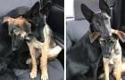 Deux bergers allemands se serrent pour se donner du courage en attendant d'être adoptés tous les deux