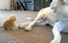 Here's how a huge pit bull reacts to the attack of a tiny kitten!