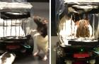 Wissenschaftler bringen Mäusen das Fahren kleiner Autos bei: Ein Film zeigt ihre Fähigkeiten