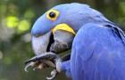 Er zijn 4 blauwe ara kuikens geboren, een bedreigde diersoort die uit de as van de branden in de Amazone zijn herboren
