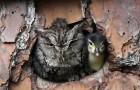 Cette chouette a confondu un œuf de canard avec le sien et s'est retrouvée mère d'un caneton