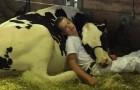 Na het verliezen van een wedstrijd rusten een jongen en zijn koe samen uit in een stal