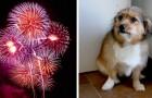 Les feux d'artifice étaient trop forts : la petite chienne de 18 mois meurt de peur d'une crise cardiaque