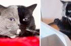 Il s'appelle Narnia et c'est un chat atteint de chimérisme : la moitié exacte de son corps est noire, l'autre est grise