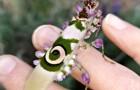 Deze vrouw vond een betoverende stekelige bloembidsprinkhaan tussen haar lavendel