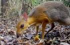 Dans une forêt au Vietnam, photographié un très rare spécimen de grand cerf-souris, considéré comme éteint depuis 30 ans