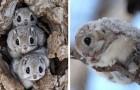 De witkelige vliegende eekhoorn uit Japan is waarschijnlijk een van de meest tedere dieren op aarde