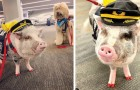 Am Flughafen von San Francisco können Reisende LiLou, das weltweit erste Therapieschwein, streicheln