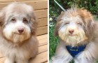Der Hund mit menschlichem Gesicht: sein Aussehen ist so intensiv, dass es dem eines Menschen ähnelt