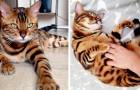 Il s'appelle Thor et c'est un magnifique chat Bengal dont les couleurs uniques ressemblent à celles d'un petit tigre