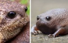 Met zijn chagrijnige uitdrukking lijkt de regenkikker het meest geïrriteerde dier op aarde