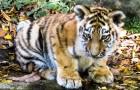 Gute Nachrichten für den bedrohten bengalischen Tiger: 11 Welpen werden in Indien geboren