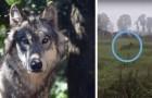 Avvistato un lupo solitario vicino Lodi: è la prima volta dopo oltre 250 anni