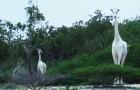 Due giraffe completamente bianche passeggiano tra gli alberi in Kenya: si tratta di un evento rarissimo