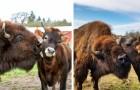 Un bisonte cieco allontanato da tutti gli animali stringe un'improbabile amicizia con una giovane mucca