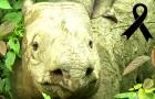 De Sumatraanse neushoorn is uitgestorven in Maleisië: Iman, het laatste vrouwelijke exemplaar, is gestorven