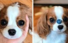 This 2-year-old Cavalier King Charles dog is so small that it still looks like a puppy