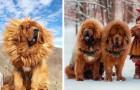 Ces 18 photos montrent que le dogue du Tibet est l'un des plus grands chiens du monde