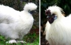 La poule Soie : la poule si douce qu'elle ressemble à une peluche