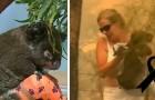 Vaarwel Lewis, de koala die uit de vlammen werd gered heeft het niet gehaald: de brandwonden waren te groot