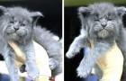 Adorables mais grincheux : ces chatons Maine Coon ont une expression inoubliable