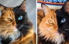 Diese Katze hat Chimärismus, eine seltene genetische Erkrankung: Ihr Gesicht ist in 2 Hälften verschiedener Farben unterteilt