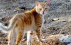 Scoperto in Corsica un raro esemplare di gatto-volpe: il suo DNA è diverso da quello degli altri felini