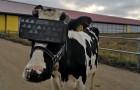 Les éleveurs ont utilisé des lunettes de réalité virtuelle pour détendre les vaches, obtenant une augmentation de la production de lait