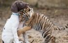 Nachdem er von seiner Mutter abgelehnt wurde, fand dieses Tigerjunge die Zuneigung und Freundschaft eines kleinen Hundes