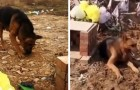 A German shepherd dog digs desperately where his owner has been buried