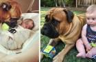 Este enorme cachorro é a babá perfeita: toda vez que o bebê chora ele leva um brinquedo para acalmá-lo