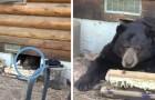 Een familie heeft ontdekt dat een gigantische beer zich recht onder hun huis heeft verplaatst