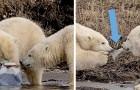 Ein Fotograf fotografiert zwei Eisbären, die sich in Alaska um eine Plastikflasche streiten