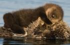 Die mütterliche Liebe hat keine Grenzen: Dieses süße Foto zeigt die Otter-Mutter, die ihr Junges vor der Kälte schützt
