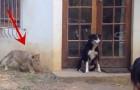 Chiunque reagirebbe così trovandosi un leone alle spalle, anche se cucciolo!