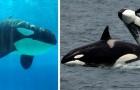 Come per gli esseri umani, anche fra le orche le nonne si prendono cura dei propri nipoti: una ricerca lo rivela