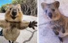 Quokkas zijn waarschijnlijk de gelukkigste dieren op aarde en deze 17 foto's bewijzen het