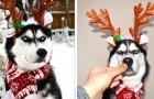 Dieser Husky hat die Weihnachtsbilder