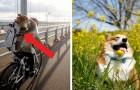 Este adorable corgi japonés se ha vuelto una celebridad en la web gracias a las fotos tomadas de su patrona