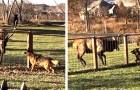 L'amitié improbable entre un élan et un berger allemand : ils jouent et s'amusent comme s'ils étaient de la même espèce