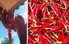 Eine neue Studie sagt, dass die tägliche Anwendung von Chili das Risiko von Herzinfarkt und Schlaganfall reduziert