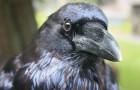 I corvi covano rancore verso chi li tratta male e lo condividono anche con altri uccelli: lo rivela uno studio