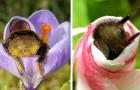 17 mooie foto's van hommels die in slaap vielen in de bloemen met hun