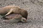 Que se haria si se encuentra una tortuga marina? Bien, parece que este cachorro de lobo marino tiene ideas claras al respecto...vamos de paseo?