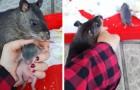 Diese Ratte scheint an der Hand seines Frauchens zu zerren, um ihr seine Jungen zu zeigen