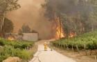 Un pompiere e un koala guardano impotenti le fiamme che distruggono un vigneto in Australia