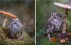 Una fotografa ritrae una piccola civetta che si ripara dalla pioggia sotto un fungo